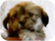 Pug/Lhasa Apso Mix Puppy for adoption in Proctorville, Ohio, Ohio - Gina