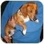 Photo 1 - Dachshund Dog for adoption in Seagoville, Texas - Bingo