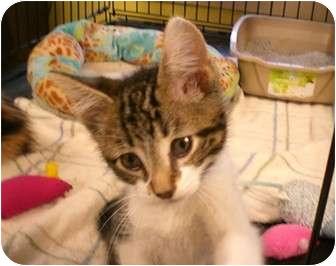 Domestic Shorthair Kitten for adoption in Byron Center, Michigan - Stanley