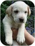 Labrador Retriever Mix Puppy for adoption in Foster, Rhode Island - Tigger