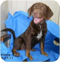 Labrador Retriever Mix Puppy for adoption in Avon, New York - Piper