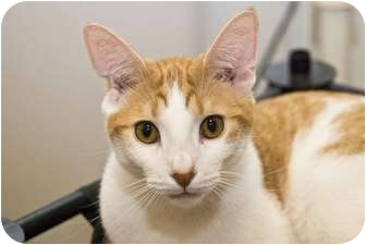 Domestic Shorthair Kitten for adoption in New Port Richey, Florida - Tino