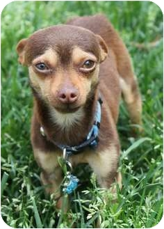 Chihuahua Dog for adoption in Los Angeles, California - Joey 3 lbs