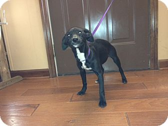 Feist Mix Puppy for adoption in Hartford, Connecticut - Ebony