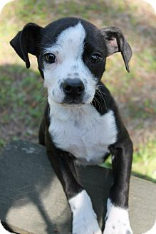 Terrier (Unknown Type, Medium) Mix Puppy for adoption in Albany, Georgia - Tyson