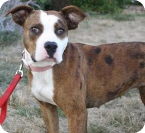 American Staffordshire Terrier Dog for adoption in West Des Moines, Iowa - Petra