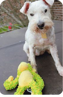 Miniature Schnauzer Dog for adoption in Sharonville, Ohio - Fergie