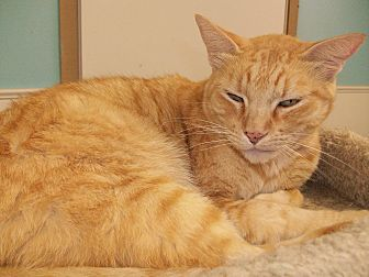 American Shorthair Cat for adoption in Hurricane, Utah - Gus Gus