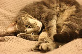 Domestic Shorthair Cat for adoption in New York, New York - Mufasa