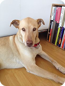 Labrador Retriever Mix Dog for adoption in Los Angeles, California - BECHAMEL