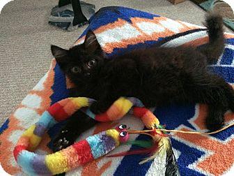 Domestic Longhair Kitten for adoption in East Brunswick, New Jersey - Tuna