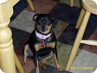Miniature Pinscher Mix Dog for adoption in Beachwood, Ohio - Sophie - Courtesy Listing