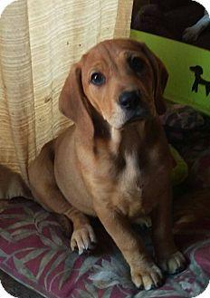 Basset Hound/Beagle Mix Puppy for adoption in Charlestown, Rhode Island - Mia