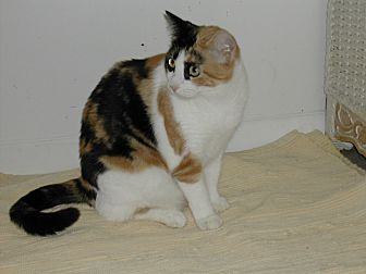 Calico Cat for adoption in Naples, Florida - Belina
