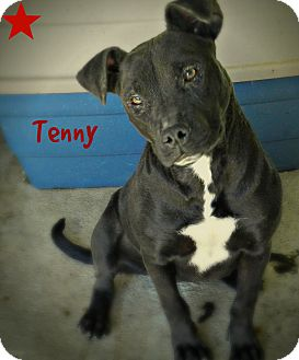 Pit Bull Terrier Mix Dog for adoption in Lawrenceburg, Tennessee - Tenny