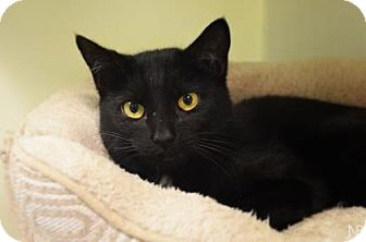 Domestic Shorthair Cat for adoption in Parma, Ohio - Shadow