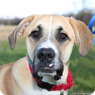 Great Pyrenees/Boxer Mix Dog for adoption in Columbia, Illinois - Thor