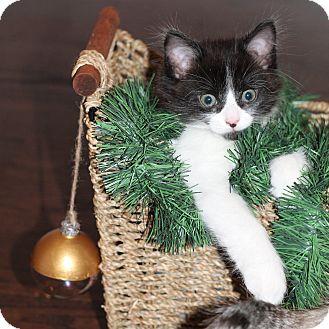Domestic Shorthair Kitten for adoption in Toronto, Ontario - Nessy