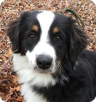 Border Collie/Australian Shepherd Mix Puppy for adoption in Hagerstown, Maryland - Sally
