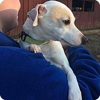 Adopt A Pet :: Presley - Brattleboro, VT