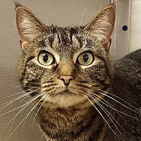 Domestic Shorthair Cat for adoption in Grayslake, Illinois - Dustee