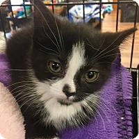 Adopt A Pet :: Biscotti - River Edge, NJ