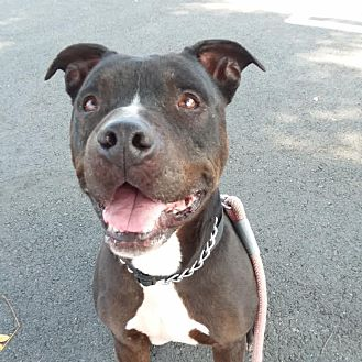 American Staffordshire Terrier Dog for adoption in Westminster, California - Kato