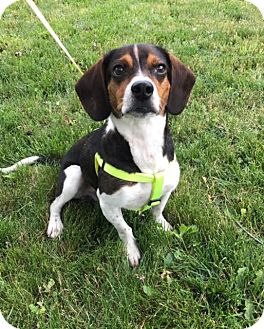Beagle Mix Dog for adoption in St. Catharines, Ontario - Slater