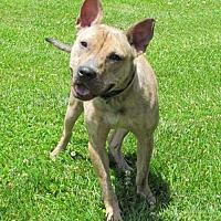 Adopt A Pet :: Ringo - Batavia, OH