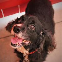Cocker Spaniel Mix Dog for adoption in Gainesville, Florida - Phoenix
