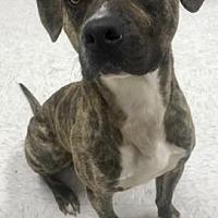 Pit Bull Terrier Mix Dog for adoption in Binghamton, New York - Chuck