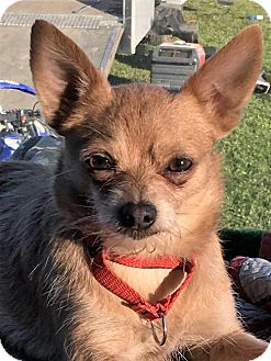 Chihuahua/Yorkie, Yorkshire Terrier Mix Dog for adoption in Buffalo, New York - Gizmo