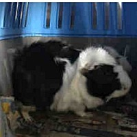Adopt A Pet :: *Urgent* Duke - Fullerton, CA