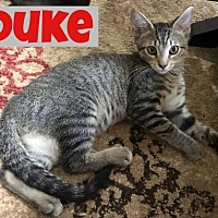 Adopt A Pet :: Duke - Land O Lakes, FL