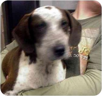 German Shorthaired Pointer/Bluetick Coonhound Mix Puppy for adoption in Manassas, Virginia - Daltrey