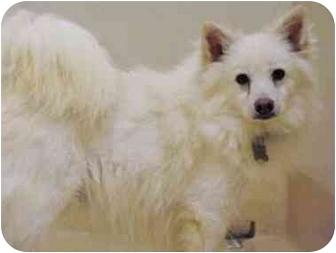American Eskimo Dog Dog for adoption in Shoreline, Washington - Hanska