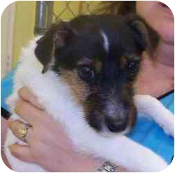 Jack Russell Terrier Puppy for adoption in Austin, Texas - Gidget in Dallas