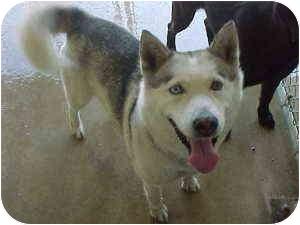 Husky Dog for adoption in Gladwin, Michigan - Angel