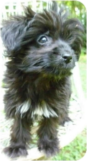 Yorkie, Yorkshire Terrier/Poodle (Miniature) Mix Puppy for adoption in Greensboro, North Carolina - Amy