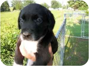 Border Collie Mix Puppy for adoption in Lonedell, Missouri - Meredith 3