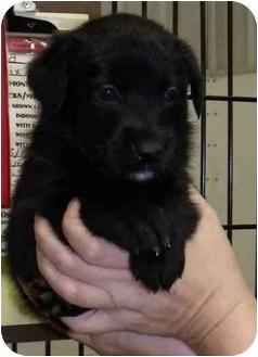 Labrador Retriever Mix Puppy for adoption in Morden, Manitoba - Leica