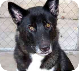 Akita/German Shepherd Dog Mix Dog for adoption in Houston, Texas - Miyoshi