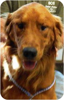 Golden Retriever Puppy for adoption in Oswego, Illinois - I'M ADOPTED Dublin Green