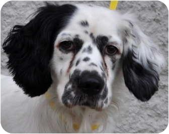 English Setter Mix Dog for adoption in Atlanta, Georgia - Freckles
