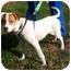 Photo 2 - Beagle/Hound (Unknown Type) Mix Puppy for adoption in Bardonia, New York - Charlotte