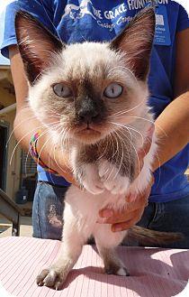 Siamese Kitten for adoption in El Dorado Hills, California - Ethel's Little Earl