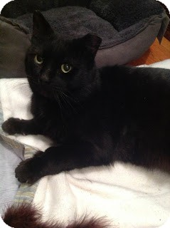 Domestic Shorthair Cat for adoption in Chicago, Illinois - JJ