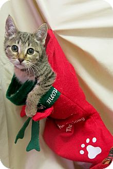Domestic Shorthair Kitten for adoption in Buena Vista, Colorado - Ghia