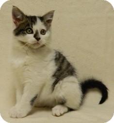 Domestic Shorthair Cat for adoption in Columbus, Nebraska - Donny