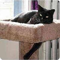 Adopt A Pet :: Sheba - Portland, OR